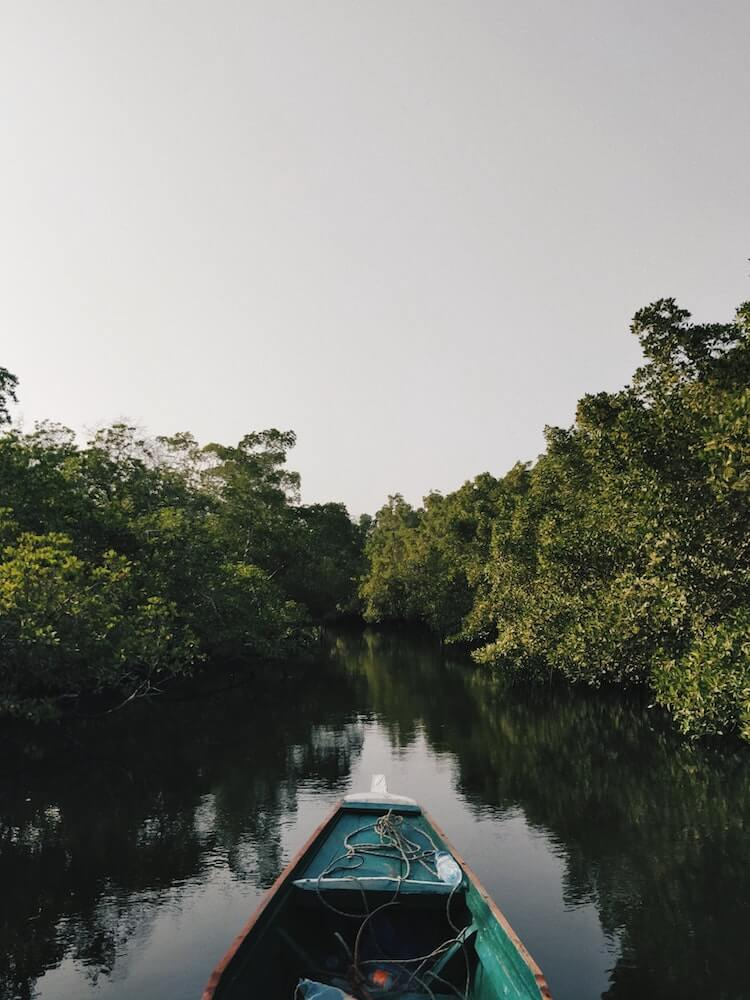 A mangrove forest visited by a boat
